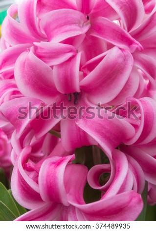 A macro shot of some pink hyacinth blooms. - stock photo