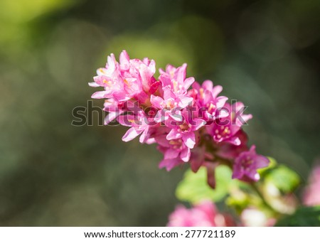 A macro shot of some ribes blossom. - stock photo