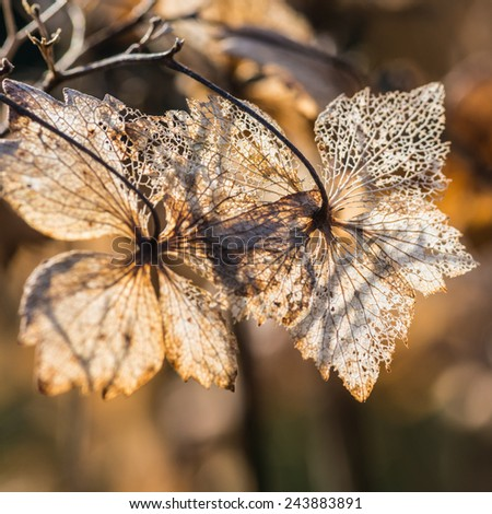 A macro shot of some skeletal hydrangea bracts. - stock photo