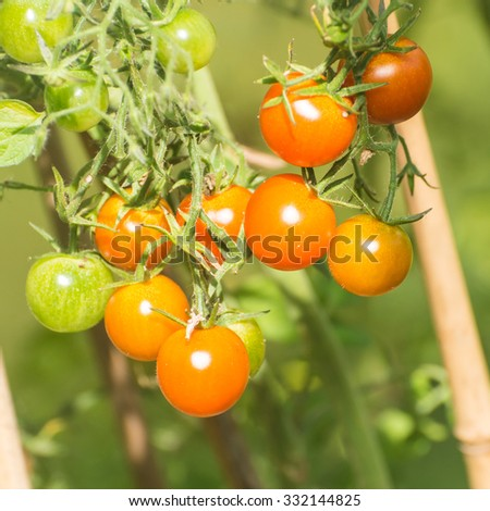A macro shot of some small tomatoes growing on the vine. - stock photo