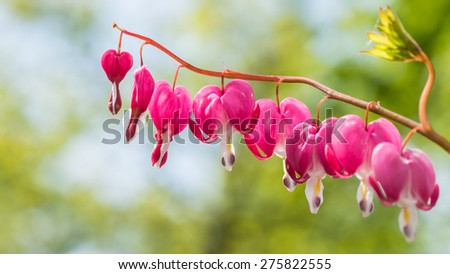 A macro shot of the blooms of a bleeding heart plant. - stock photo