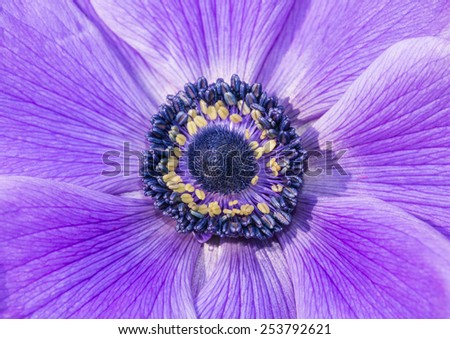 A macro shot of the centre of a purple anemone flower. - stock photo