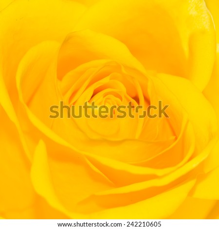A macro shot of the centre of a yellow rose. - stock photo