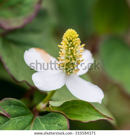 A macro shot of the white flower of a houttuynia cordata plant. - stock photo