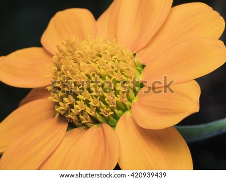 A Macro Shot of Yellow Cosmos Pollen for Background - stock photo