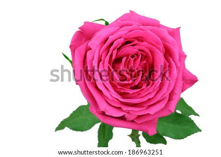 a magenta rose in fresh blossom on top of green stems and foliage isolated on white background - stock photo