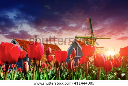 A magical landscape of tulips and windmills in the Netherlands. - stock photo