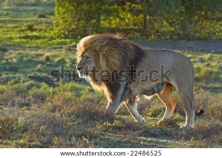 A magnificent African Male Lion walks casually past - stock photo