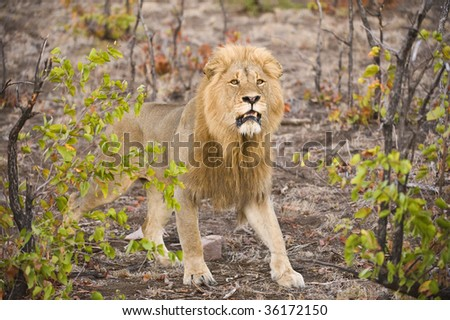 A magnificent Kruger Park Lion emerges from the bush - stock photo
