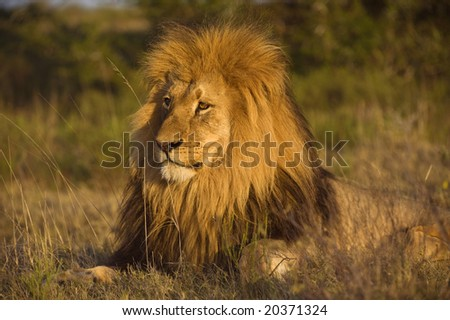 A magnificent Male Lion catches the last of the afternoon sun - stock photo