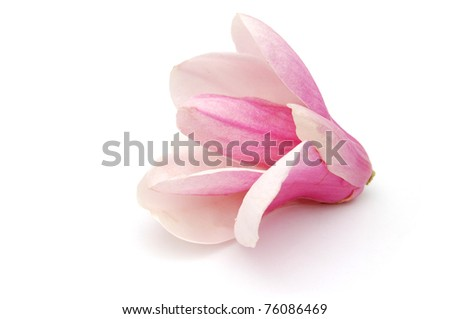 A magnolia blossom on white background - stock photo