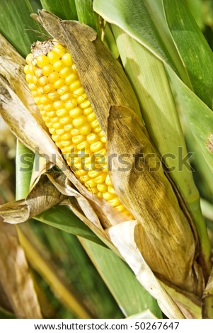 a Maize cob on the plant - ready for harvest - stock photo