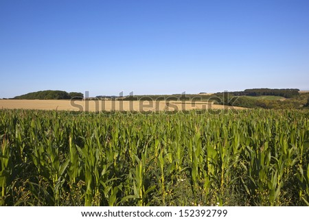 a maize crop with golden wheat fields in yorkshire wolds scenery under a clear blue sky in summer
