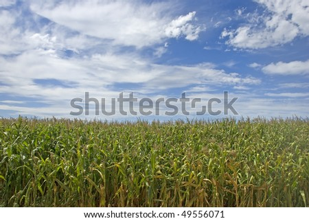a Maize field with beautiful sky - stock photo