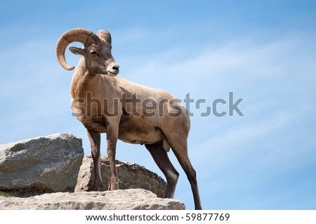 a majestic lone dall sheep ram stands on a rock against blue sky - stock photo