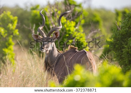 A majestic male Kudu bull looking over its shoulder - stock photo