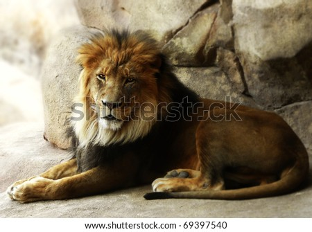 A majestic male lion laying in the shade of an overhanging rock.