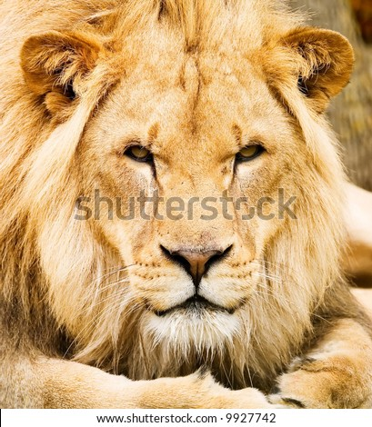A majestic male lion resting and staring directly at the viewer