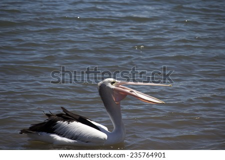 A majestic pelican  pelecanidae species pelecaniformes  swimming in   the calm waters of Leschenault Estuary, Bunbury, Western Australia  is opening its bill  with a fish in it   on a summer morning. - stock photo