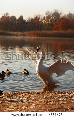 A majestic swan starting to fly, autumn landscape - stock photo
