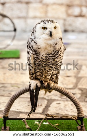 a majestic white owl looking at the camera - stock photo