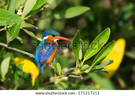 A Malachite Kingfisher (Alcedo cristata) perched on a mangrove branch