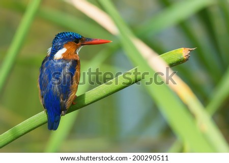 A Malachite Kingfisher (Alcedo cristata) perched on a reed - stock photo
