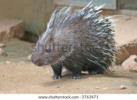A Malayan Porcupine with its needle sharp spines