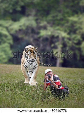 A Malayan Tiger stalking an unaware wildlife photographer in a green grass field. The Malayan Tiger is scientifically known as Panthera tigris jacksoni. - stock photo