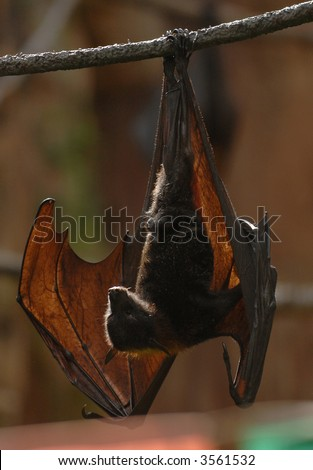 A Malaysian fruit bat hangs upside down during the day. - stock photo