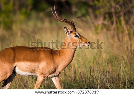 A male african Impala walking past - stock photo