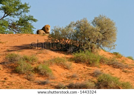 A male African lion (Panthera leo) on a sand dune, Kalahari, South Africa - stock photo