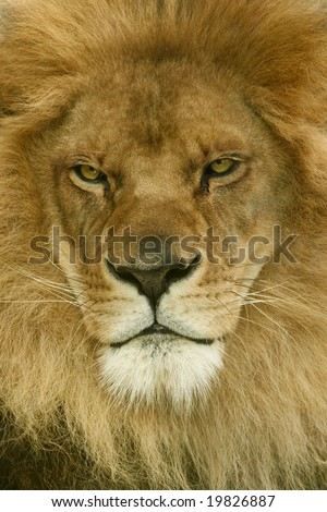 A male African Lion stares off in the distance - stock photo
