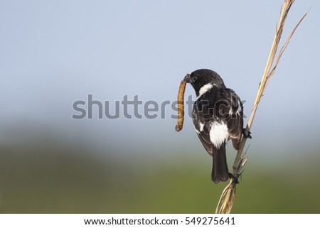 A male African stonechat perched on grass stalk with back to camera and a large worm in its beak