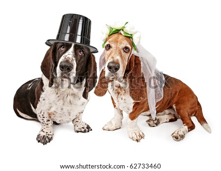 A male and a female Basset Hound dressed as a bride and groom. Isolated on white. - stock photo