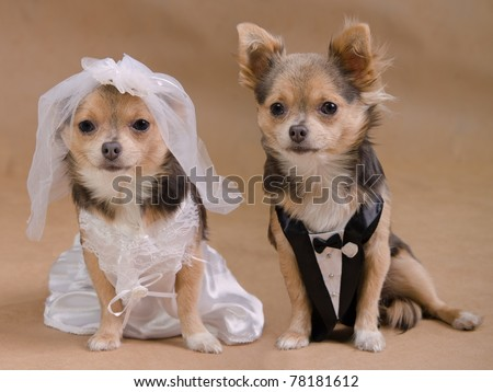 A male and a female chihuahua dressed as a bride and groom, isolated - stock photo