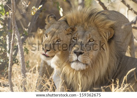 A male and female African Lion (Panthera leo) greet each other, South Africa - stock photo