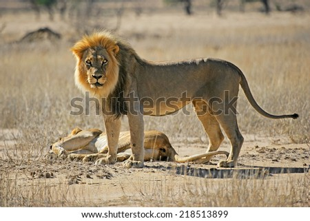 A male and female African lion (Panthera leo), Kalahari desert, South Africa - stock photo