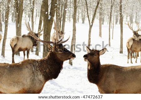 A male and female Elk meet. The Female does all the talking! - stock photo
