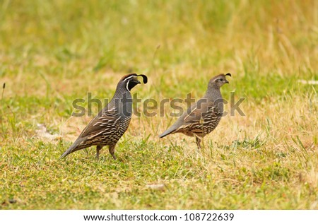 A male and female quail couple on grass - stock photo