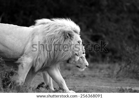 A male and female white lioness walk together in this lovely backlit image. - stock photo