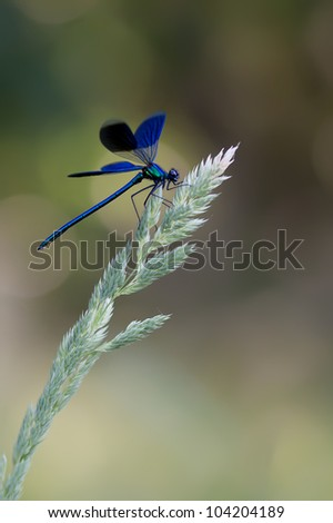 A male Banded Demoiselle (Calopteryx splendens) showing his wings on a beautiful colored background - stock photo