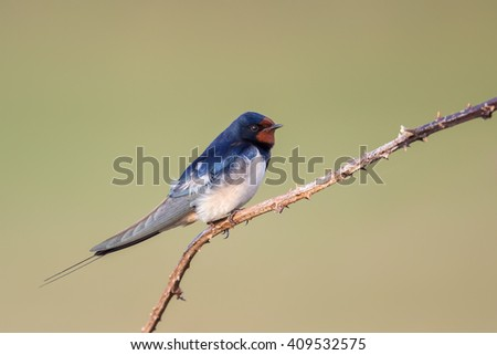A male Barn Swallow (Hirundo rustica) resting on a thin bramble twig, against a clear, blurred, natural background, East Yorkshire, UK