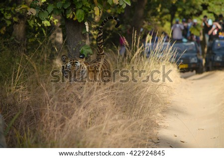 A Male Bengal Tiger hiding in tall grass with safari jeeps in the background.Image taken at Bandhavgarh national park in Madhya Pradesh in India.Scientific name- Panthera Tigris Image Date: 10/01/2016 - stock photo