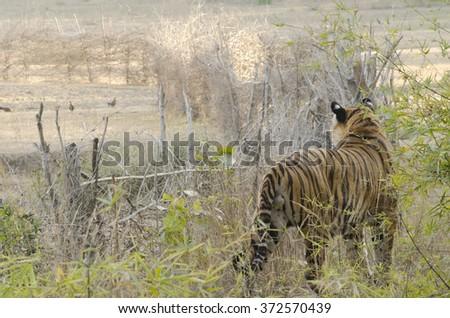 A Male Bengal Tiger observing his territory.Image captured during a safari at Bandhavgarh National park in Madhya Pradesh,India Scientific name- Panthera Tigris - stock photo