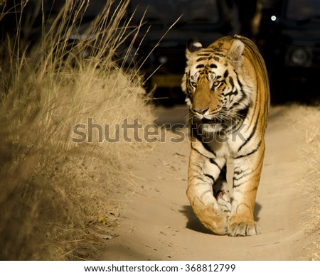 A Male Bengal Tiger walking along a forest path while marking its territory.Image captured during a safari at Bandhavgarh National park in Madhya Pradesh,India  Scientific name- Panthera Tigris - stock photo