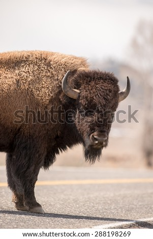 A male bison stops in the middle of the road to look at photographer - stock photo