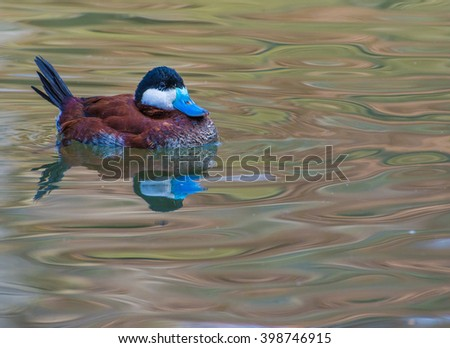 A male Blue-billed duck (a small Australian stiff-tailed duck) in its breeding season colors - stock photo
