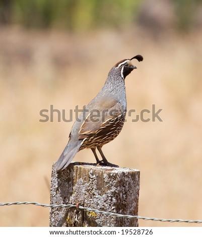 A male california quail perching on a post. - stock photo