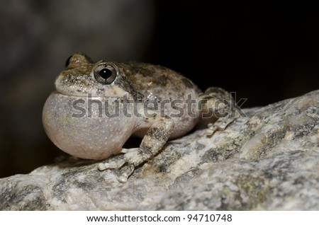 A male California Treefrog calling for a mate in Southern California. - stock photo